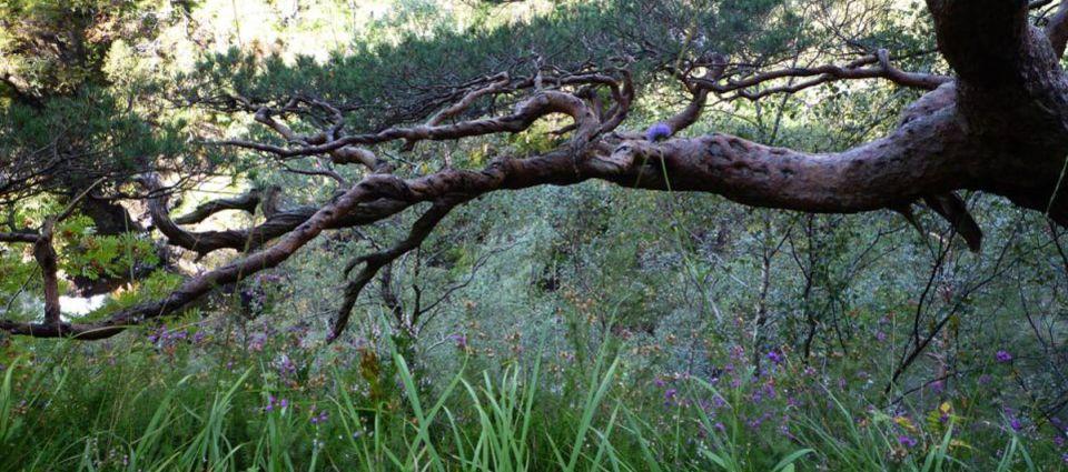 Original Scots Pines