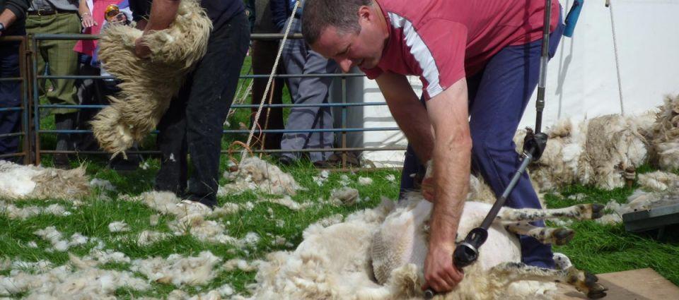 Sheep shearing demonstrations