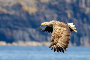The Sea-eagle
