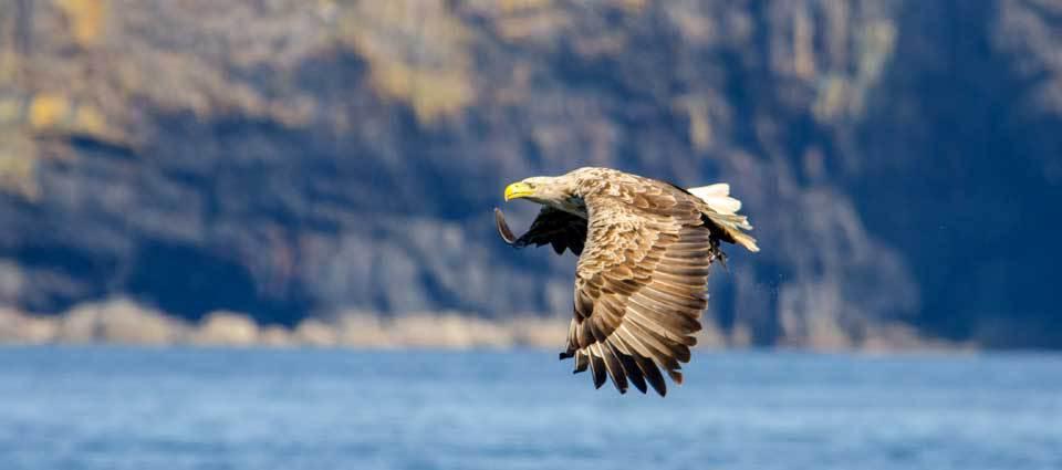 The Sea-eagle