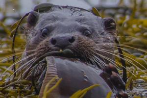 Large otter 2 1