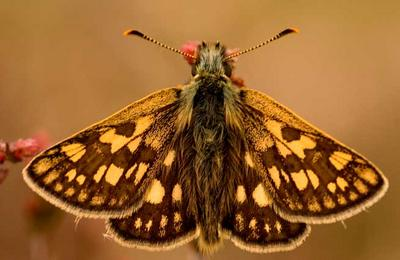 The chequered  skipper