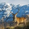 Thumbnail the red deer  one of scotland s big five is the uk s largest land mammal