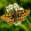 Thumbnail the chequered skipper is found within 30 miles of fort william and nowhere else in the uk