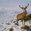Thumbnail lonely stag in winter